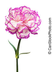 Beautiful pink flower on a white background
