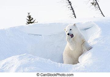 polar, oso, (Ursus, maritimus), cachorro,