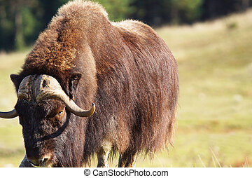 Male musk ox looking - Big male musk ox, Ovibos moschatus,...