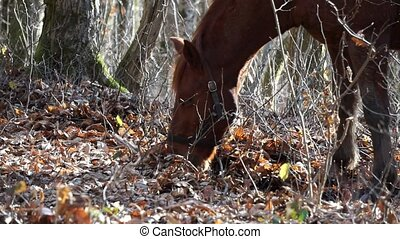 Horse is looking for food under the leaves in autumn forest