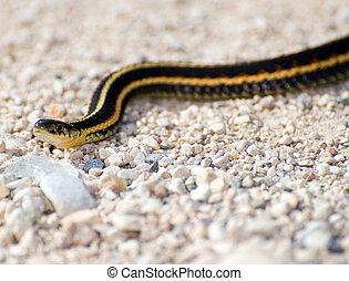 Garter Snake - Closeup view of a garter snake slithering...
