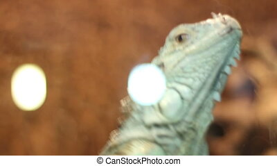 Escaping Iguana - Adult iguana in a terrarium trying to...