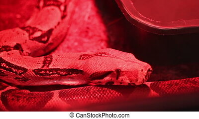 Red Light Python - Creepy close up shot of a large python in...