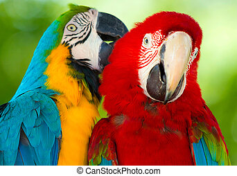 parrots - Pair of colorful Macaws parrots