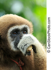 gibbon, ,