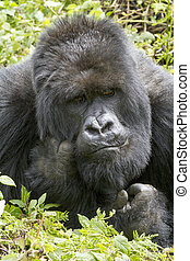 gorilla in the rainforest of Biwindi Impenetable National...