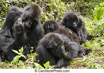 gorilla group in the rainforest of Biwindi Impenetable...