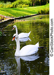 Two white swans float on water in park - Two white swans...