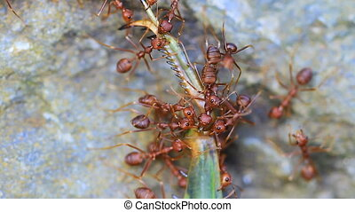 Ants troop trying to move a dead grasshopper in forest