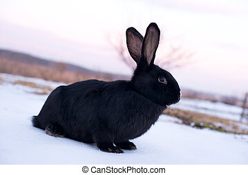 black rabbit with the face in the snow