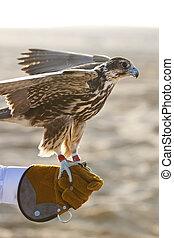 Arabian Falcon On Falconer\'s Glove - A falcon on falconer;s...