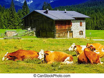 Cows and mountain hut.