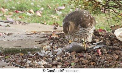 Hawk eating prey - Predator hawk eating another bird