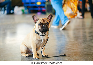 Dog French Bulldog - Lost Sad Dog French Bulldog sitting on...
