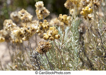 Helichrysum stoechas - Flowers and leaves of Helichrysum...