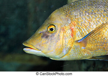 Flame-colored snapper or Waigiu snapper (Lutjanus fulvus) in...