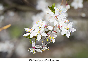 Cherry blossom tree - Serfect spring cherry blossom tree in...