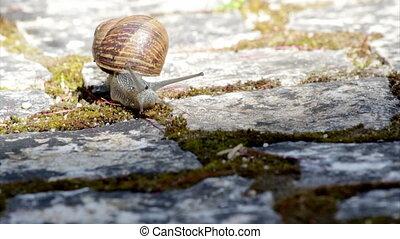 Comum Garden Snail crawling F - Active garden snail crawling...