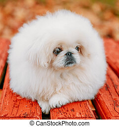 White Pekingese Pekinese Peke Whelp Puppy Dog Sitting On...