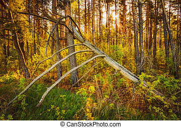 Windfall In Forest. Storm Damage. Fallen Tree