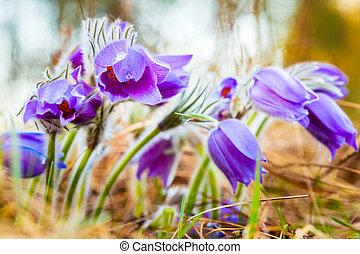 selvagem, jovem, Pasqueflower, em, cedo, Spring., flores,...