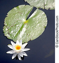 Lily Pad - A lily pad and lily