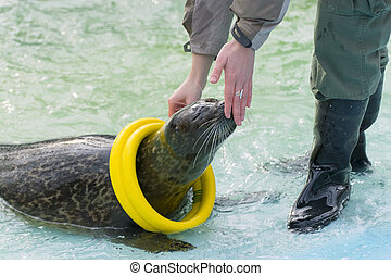 Harbor seal Phoca vitulina - Training a harbor seal Phoca...