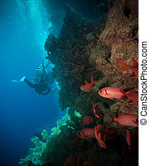 Vibrant red soft coral (Dendronephthya hemprichi) growing on...