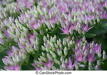 Sedum - Purple blooms Sedum telephium Herbstfreude