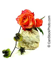 rose on a stone
