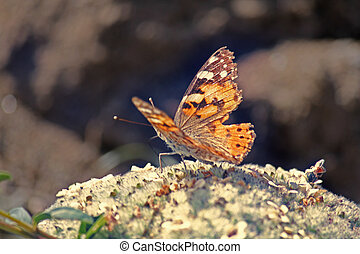 Grey Pansy butterfly, Junonia atlites - The Gray Pansy or...