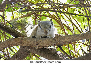 The Indian palm squirrel, Funambulus palmarum also known as...