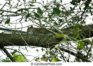 Squirrel resting on tree picture - Squirrel on resting tree...