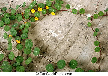 Tropaeolum majus - growing on the floor of a ruined house in...