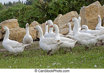 Group Geese free on pasture - Geese free on meadow