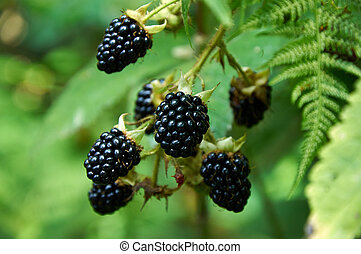 agrestic blackberries growing on the bush in forest