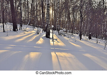 Winter sun in a birch forest