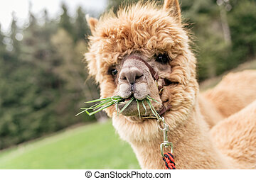 Funny alpaca with mouth full of grass - Funny brown alpaca...