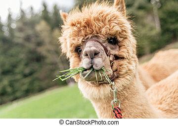 divertido, Alpaca, con, boca, Lleno, de, pasto o...