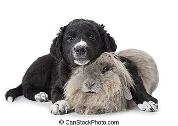 Puppy and rabbit isolated on white - Xoloitzcuintle puppy, 6...