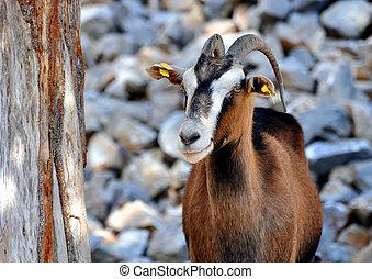 Wild goat (Kri-Kri) - Goat in the mountains of Crete, Greece