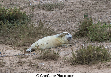 Grey Seal Pup with umbilical cord in the dunes on a beach