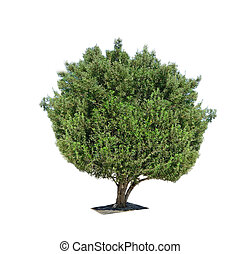 olive tree isolated on white background Shot in Sardinia,...