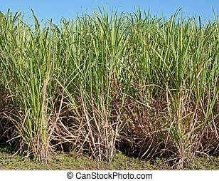 sugar cane - great image of some sugar cane growing in field