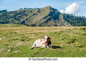 Resting Cow in the Alps