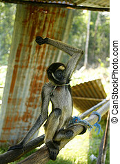 Captive spider monkey (Ateles bezelbuth) - in a Huaorani...
