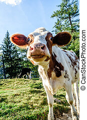Funny looking young calf - funny young calf looking at the...
