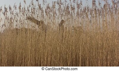 Reed harvest, reed cutting in winter