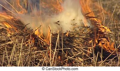 Burning reed. Burning is used to remove already cut and...