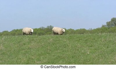 Sheep running on top of dike along Amsterdam-Rhine Canal +...